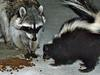 Raccoon and skunk - photo/picture definition - Raccoon and skunk word and phrase image