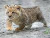 Liger cub - photo/picture definition - Liger cub word and phrase image