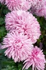 chrysanthemums - photo/picture definition - chrysanthemums word and phrase image