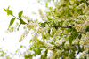 cherry blossom - photo/picture definition - cherry blossom word and phrase image