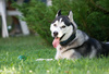 husky - photo/picture definition - husky word and phrase image