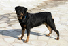 rottweiler - photo/picture definition - rottweiler word and phrase image