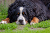 bernese mountain dog - photo/picture definition - bernese mountain dog word and phrase image