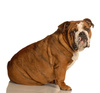 bulldog - photo/picture definition - bulldog word and phrase image