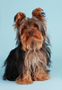 yorkshire terrier - photo/picture definition - yorkshire terrier word and phrase image