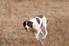 pointer dog - photo/picture definition - pointer dog word and phrase image