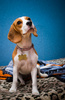 beagle - photo/picture definition - beagle word and phrase image