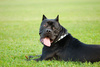 cane corso dog - photo/picture definition - cane corso dog word and phrase image
