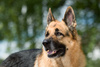 German shepherd - photo/picture definition - German shepherd word and phrase image