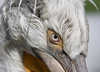 dalmatian pelican - photo/picture definition - dalmatian pelican word and phrase image