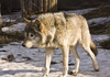 wolf - photo/picture definition - wolf word and phrase image