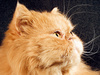 persian cat - photo/picture definition - persian cat word and phrase image