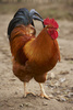 fowl - photo/picture definition - fowl word and phrase image