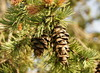 pinecones - photo/picture definition - pinecones word and phrase image