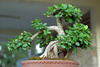 bonsai - photo/picture definition - bonsai word and phrase image