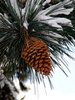 pine cone - photo/picture definition - pine cone word and phrase image