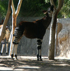 okapi - photo/picture definition - okapi word and phrase image