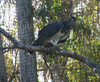harpy eagle - photo/picture definition - harpy eagle word and phrase image