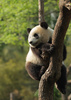 panda - photo/picture definition - panda word and phrase image