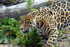 jaguar - photo/picture definition - jaguar word and phrase image