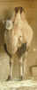 bactrian camel - photo/picture definition - bactrian camel word and phrase image