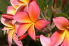 frangipani - photo/picture definition - frangipani word and phrase image