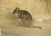 parma wallaby - photo/picture definition - parma wallaby word and phrase image