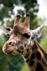 giraffe - photo/picture definition - giraffe word and phrase image
