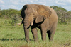 elephant - photo/picture definition - elephant word and phrase image