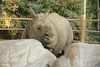 rhinoceros - photo/picture definition - rhinoceros word and phrase image