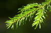 pine - photo/picture definition - pine word and phrase image