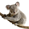 koala - photo/picture definition - koala word and phrase image