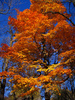 maple - photo/picture definition - maple word and phrase image