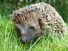 hedgehog - photo/picture definition - hedgehog word and phrase image
