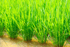 paddy field - photo/picture definition - paddy field word and phrase image