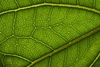 leaf structure - photo/picture definition - leaf structure word and phrase image