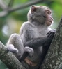 Taiwan macaque - photo/picture definition - Taiwan macaque word and phrase image