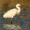 egret - photo/picture definition - egret word and phrase image