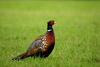 pheasant - photo/picture definition - pheasant word and phrase image