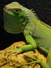 Iguana - photo/picture definition - Iguana word and phrase image
