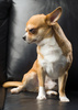 chihuahua - photo/picture definition - chihuahua word and phrase image