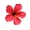 hibiscus - photo/picture definition - hibiscus word and phrase image