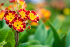 primula - photo/picture definition - primula word and phrase image