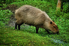 capybara - photo/picture definition - capybara word and phrase image