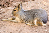 Patagonian mara - photo/picture definition - Patagonian mara word and phrase image