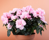 azalea - photo/picture definition - azalea word and phrase image