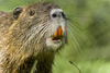 coypu - photo/picture definition - coypu word and phrase image