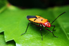 shield bug - photo/picture definition - shield bug word and phrase image