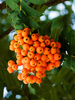mountain ash berries - photo/picture definition - mountain ash berries word and phrase image