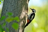 Woodpecker - photo/picture definition - Woodpecker word and phrase image